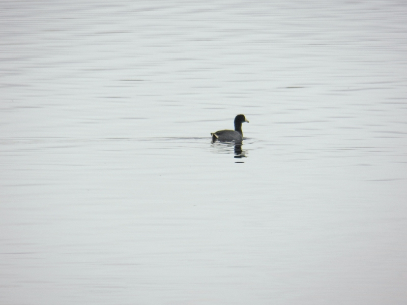 invisible-scaup
