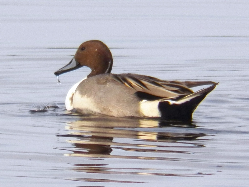 pintail-male