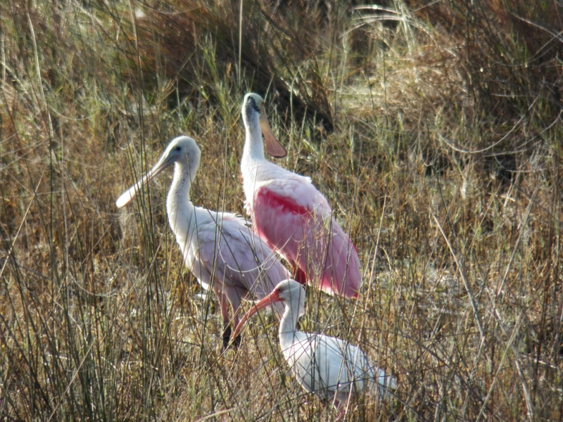 spoonbills-young-old