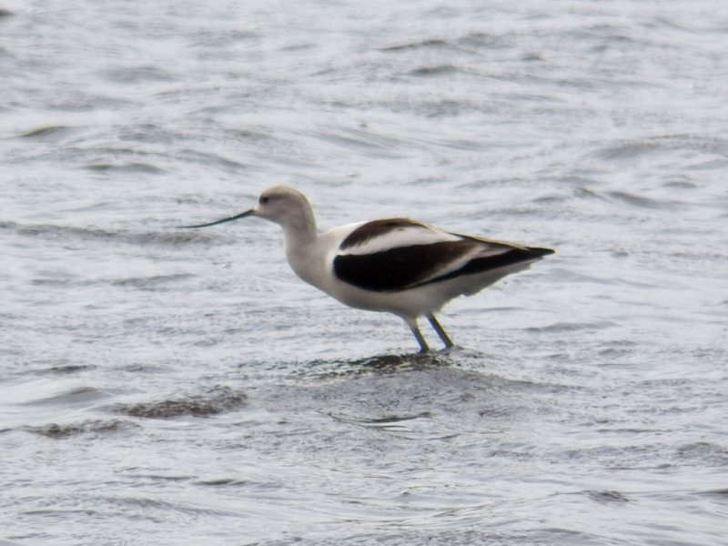 avocet-wind2