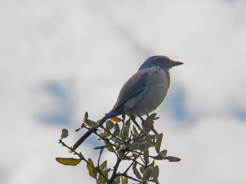 Florida Scrub Jay on the lookout