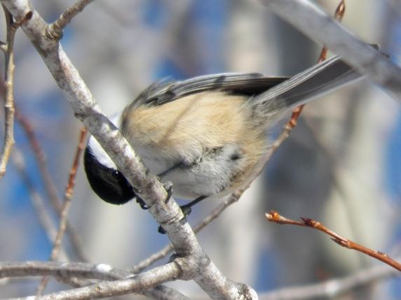 chickadee-peek-a-boo