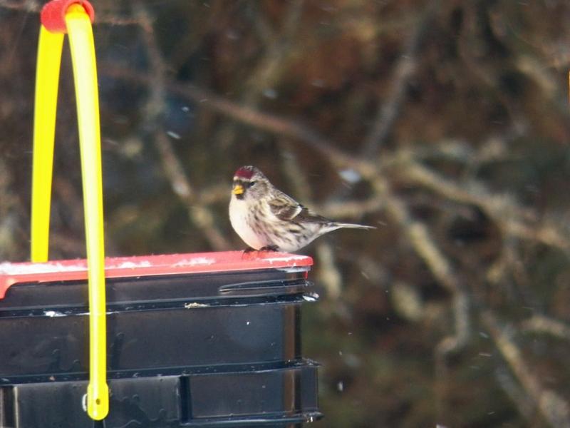 common-redpoll-feeder