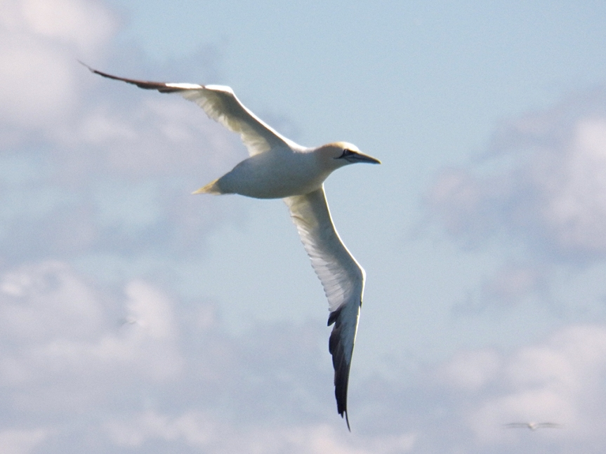 gannet-at-dawn