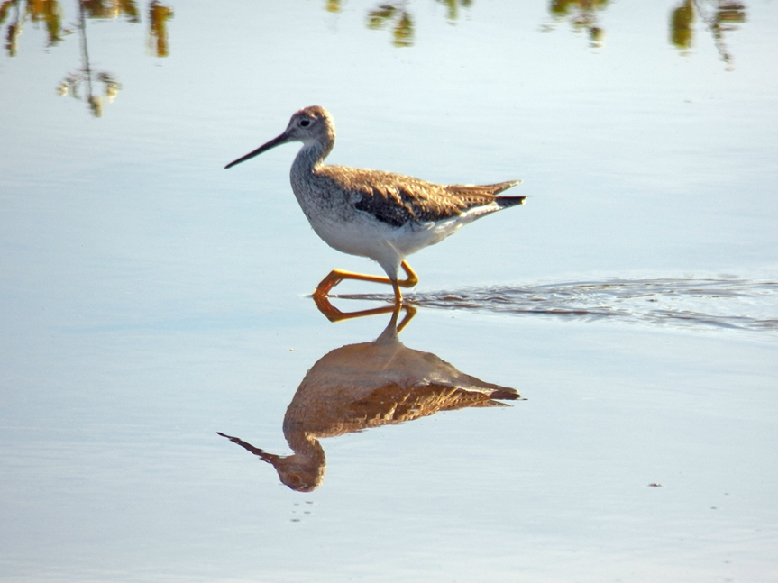High-stepping Greater-yellowlegs.