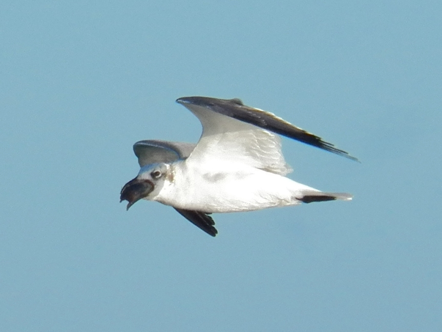 gull-with-something-in-bill