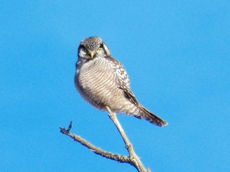 hawk-owl