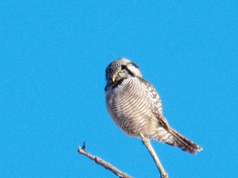 hawk-owl2