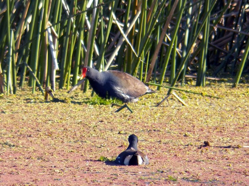 huge-gallinule
