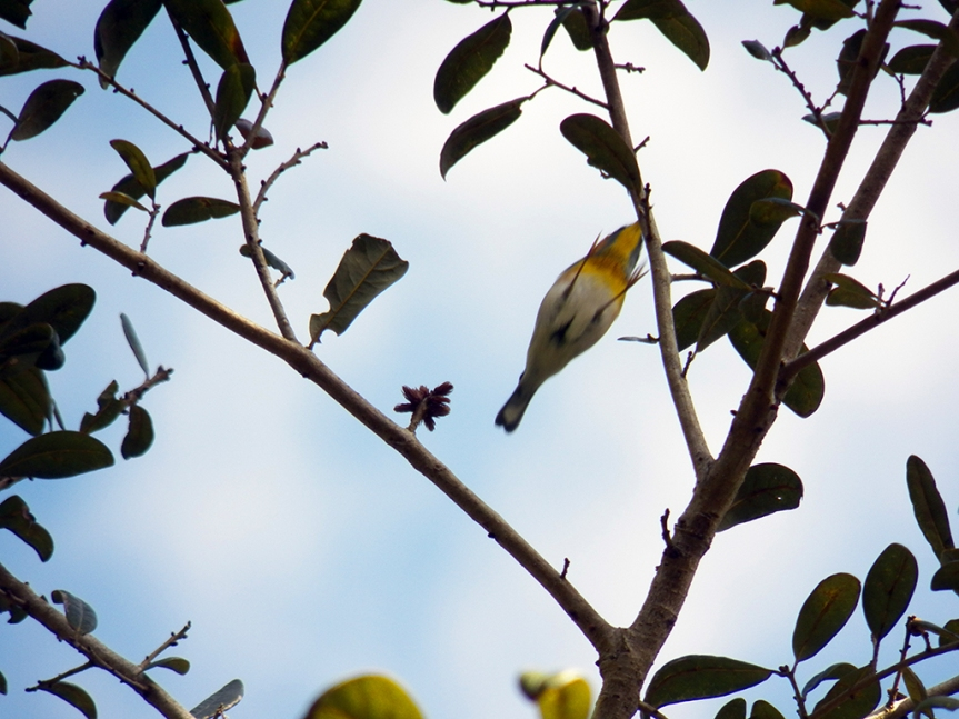 leaping-parula