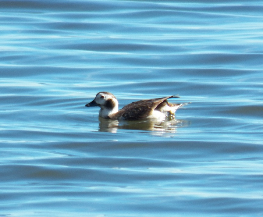long-tailed-duck-7