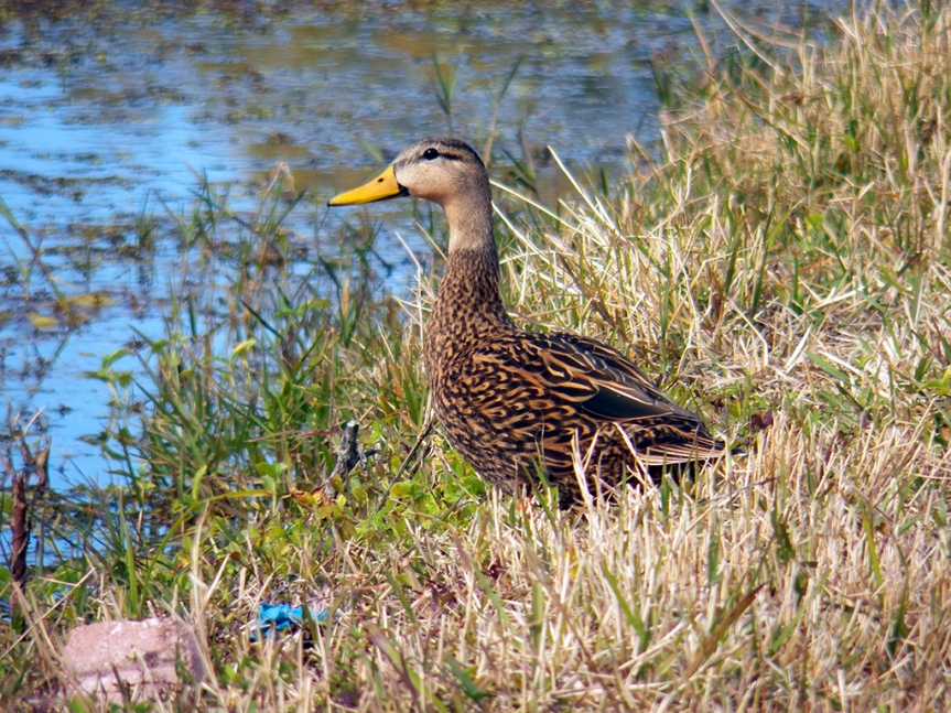 mottled-duck