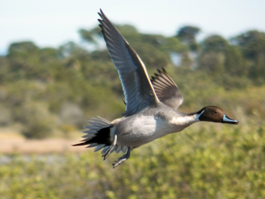 pintail-flight-MINWR