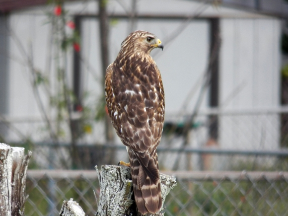 red-shouldered-hawk1
