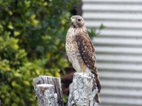 red-shouldered-hawk2