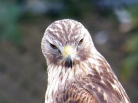 red-shouldered-hawk3