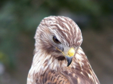 red-shouldered-hawk4