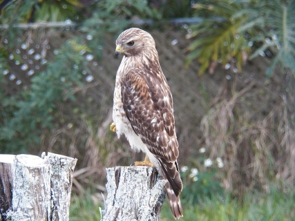 red-shouldered-hawk5