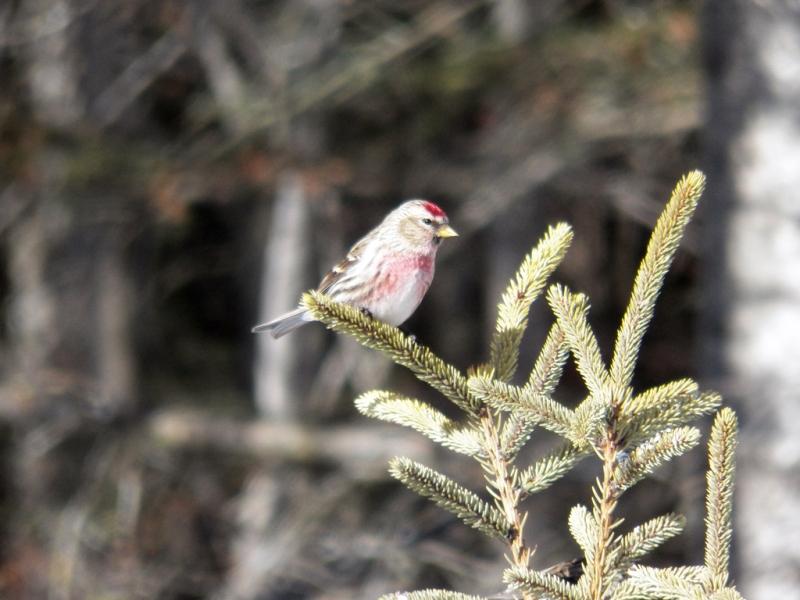 redpoll-male
