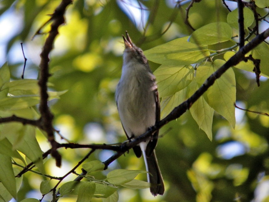 singing--gnatcatcher