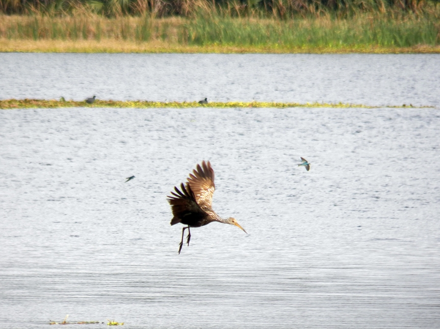flying-limpkin