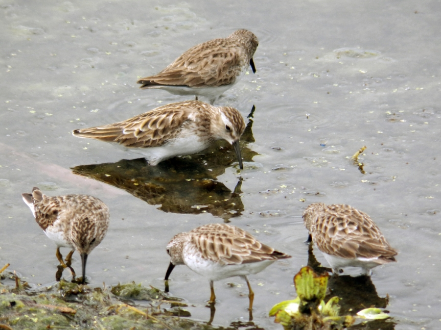 least-sandpipers-2015-mar-01