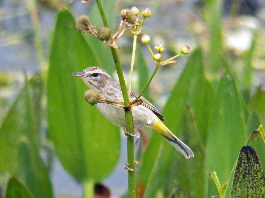 palm-warbler-2015-mar-01