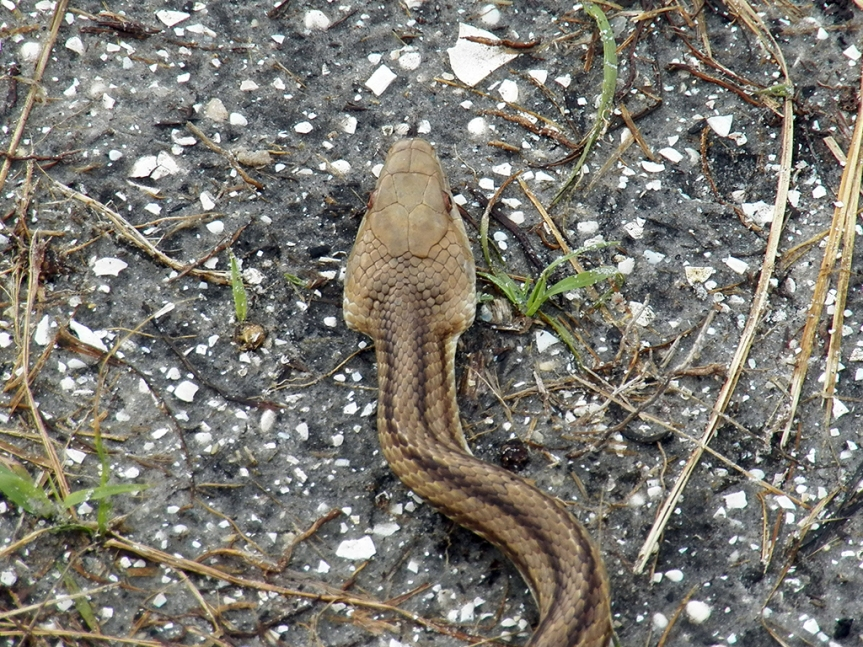 rat-snake-head