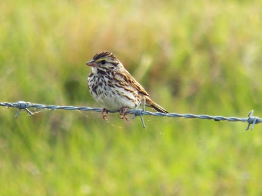 savannah-sparrow