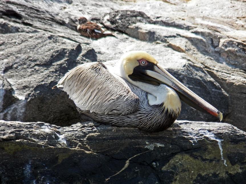 sitting-pelican