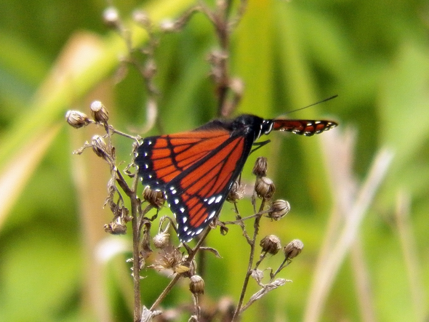 This is a Viceroy, a mimic of the better known Monarch butterfly. The extra thicker black line running across the thinner lines is the defining field mark.