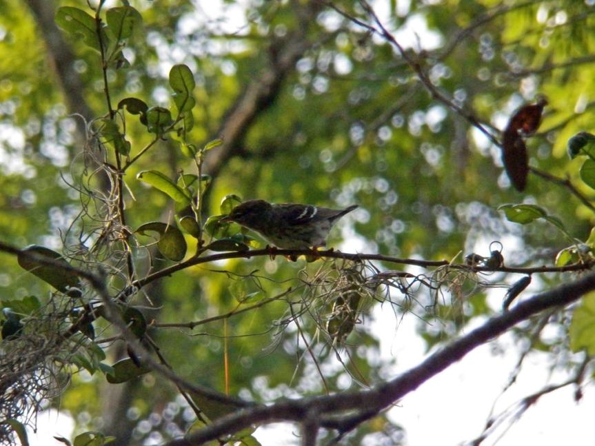 female-blackpoll