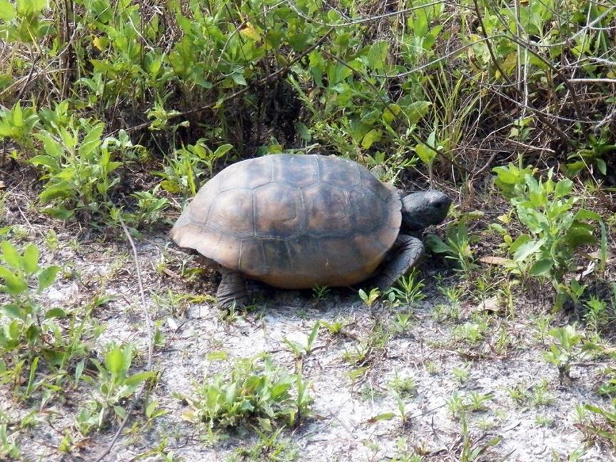 gopher-tortoise1