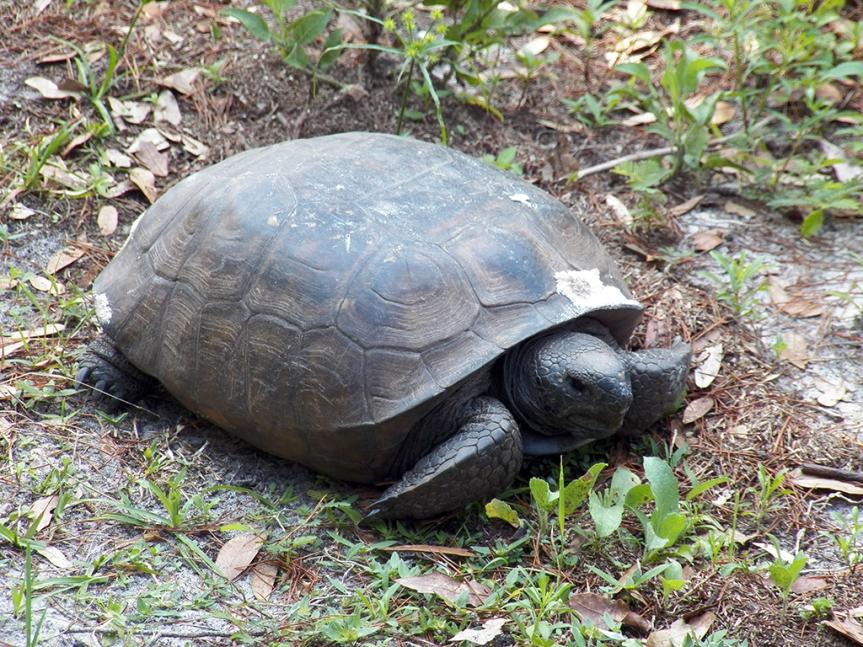 gopher-tortoise2