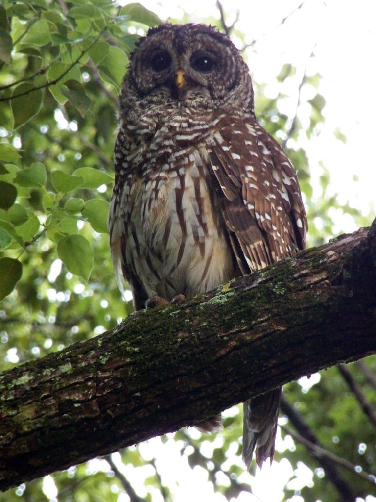 meade-barred-owl2