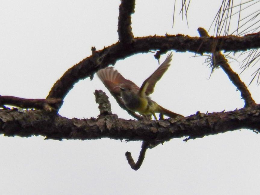 meade-flycatcher-flying