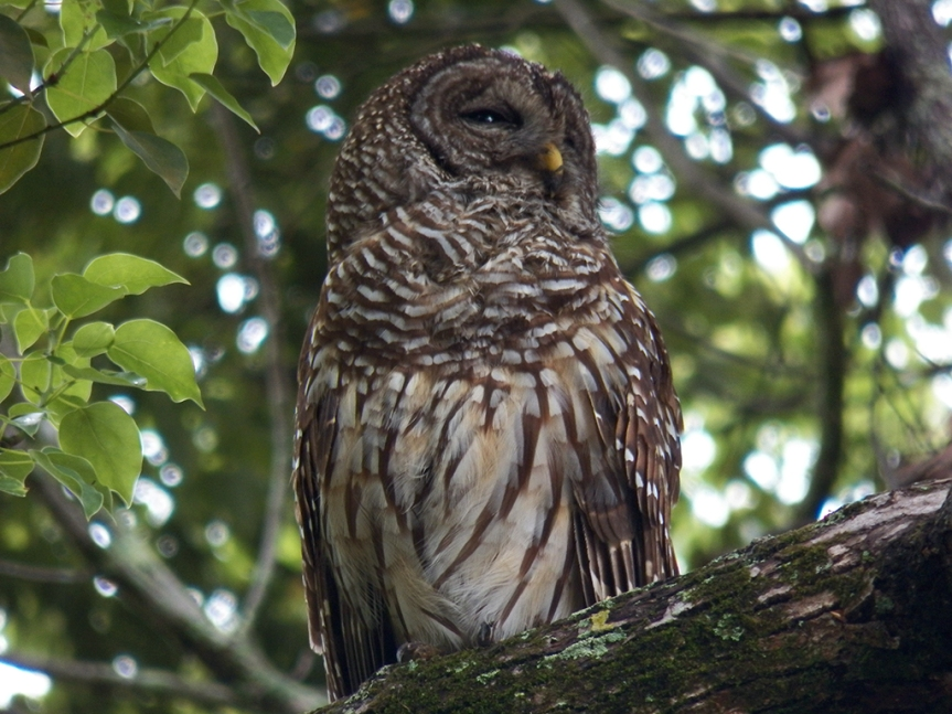 sleepy-owl