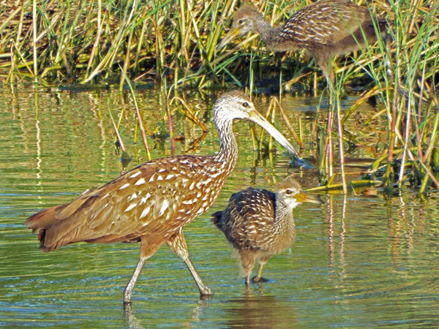 limpkin-adult-baby