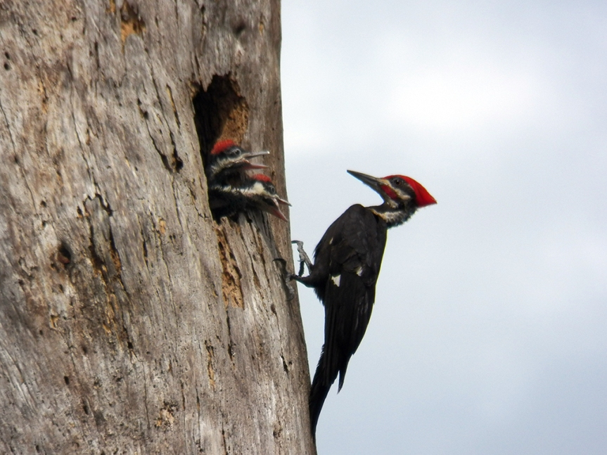 pileated-babies