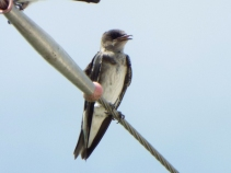 Fledgling Purple Martin