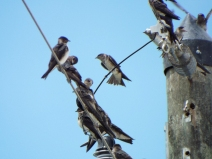 Purple Martins (mostly fledglings)