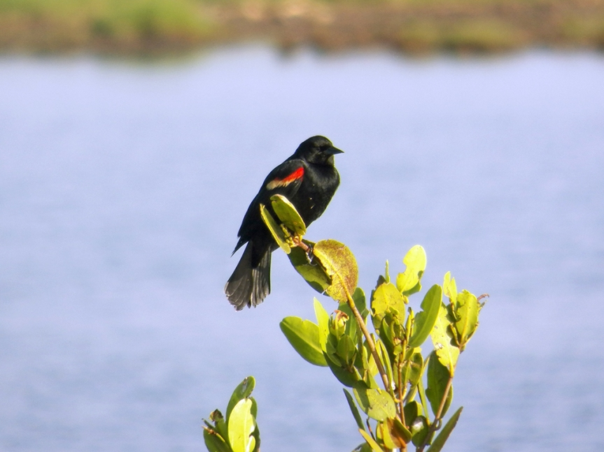 red-winged-bb
