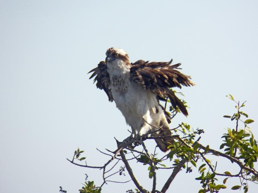 ruffled-osprey