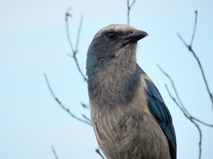 scrub-jay-closer