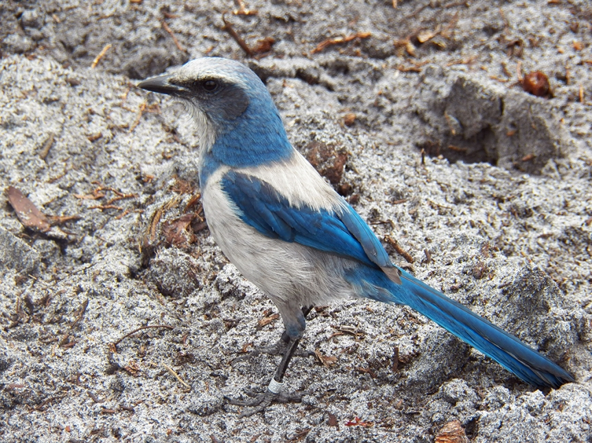 scrub-jay-ground