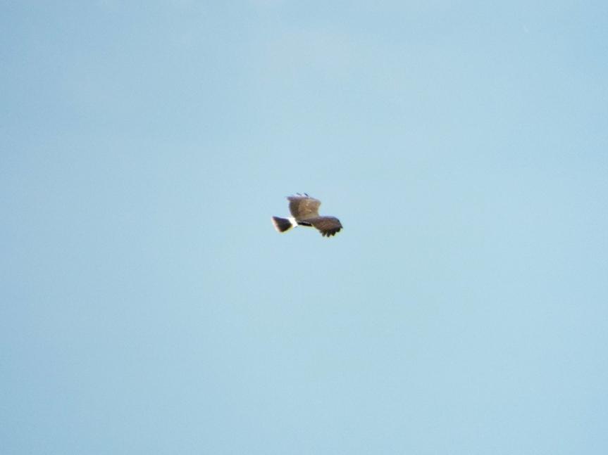 snail-kite-chisholm