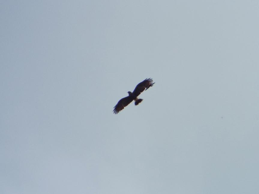 snail-kite-redwing2