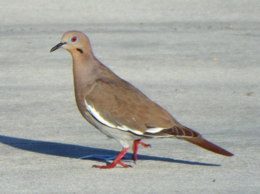 white-winged-dove