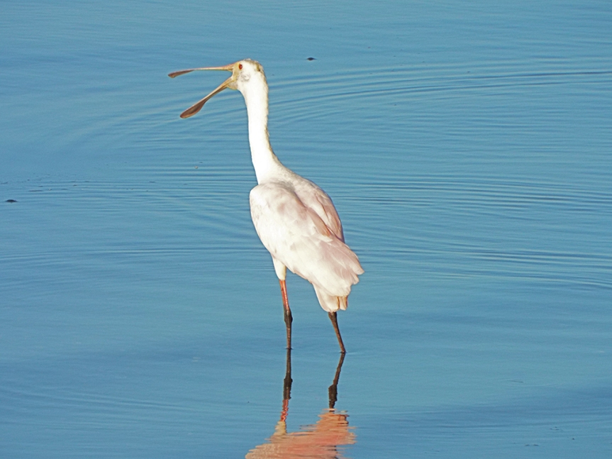 young-spoonbill