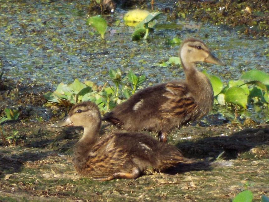 2-mottled-ducklings